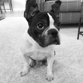 Itchy Frenchie Instagram