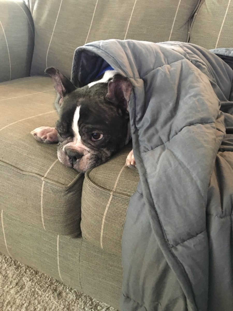 weighted blanket itchy frenchie. Black Bedroom Furniture Sets. Home Design Ideas